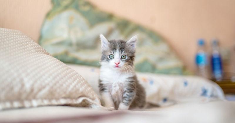 miracle-kitten