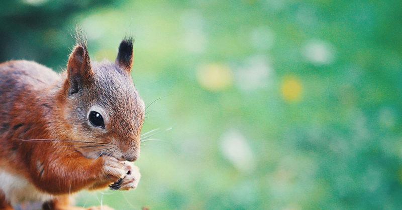 squirrel-broken-ankle