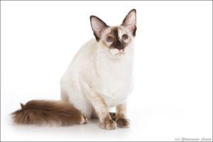 Balinese-cat-1
