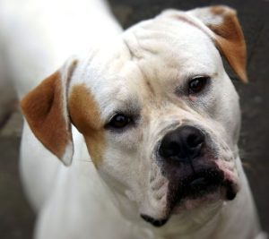 american-bulldog-179677_960_720